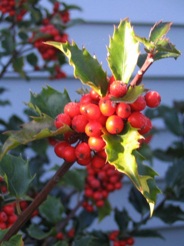 Holly in Autumn